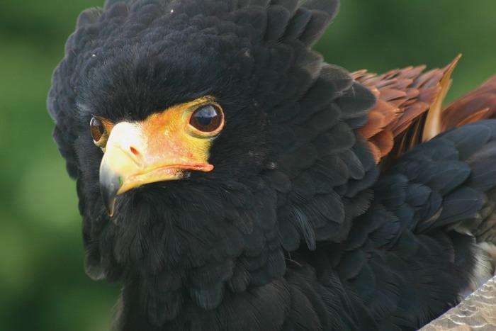Bateleur Eagle 2 (colour)