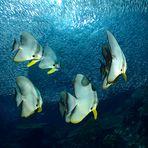 Batfish & anchovies