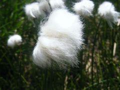 Batuffoli di cotone