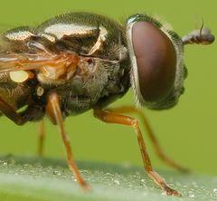 Bauchweh-Fliege (Facetten)
