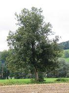 Baum 39