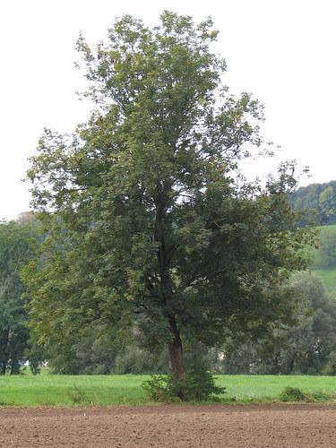 Baum 41