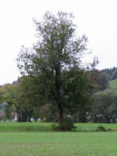 Baum 43