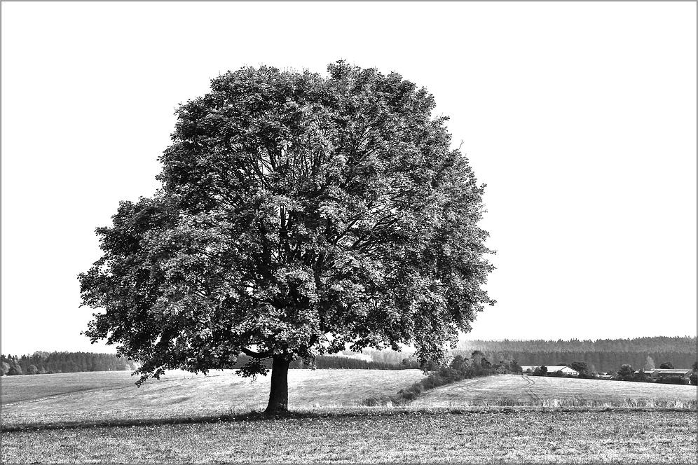 * Baum *