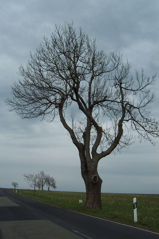 Baum am Ellenbogen in der Rhön