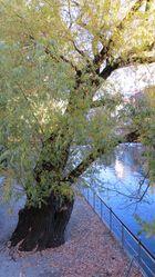 Baum am Fluß