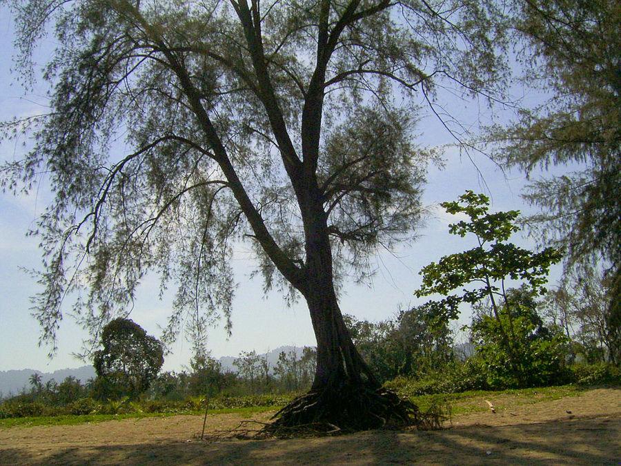 Baum am Strand von Khao Lak 2007