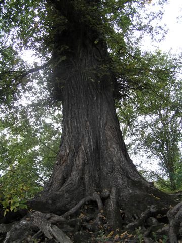 Baum an der Oder