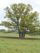 Baum auf einer Weide
