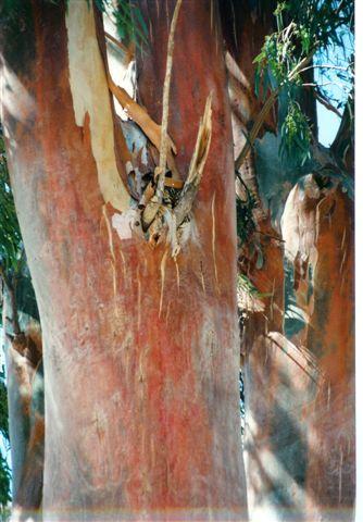 Baum auf Simi