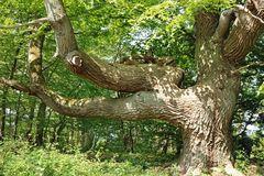 Baum auf Vilm II