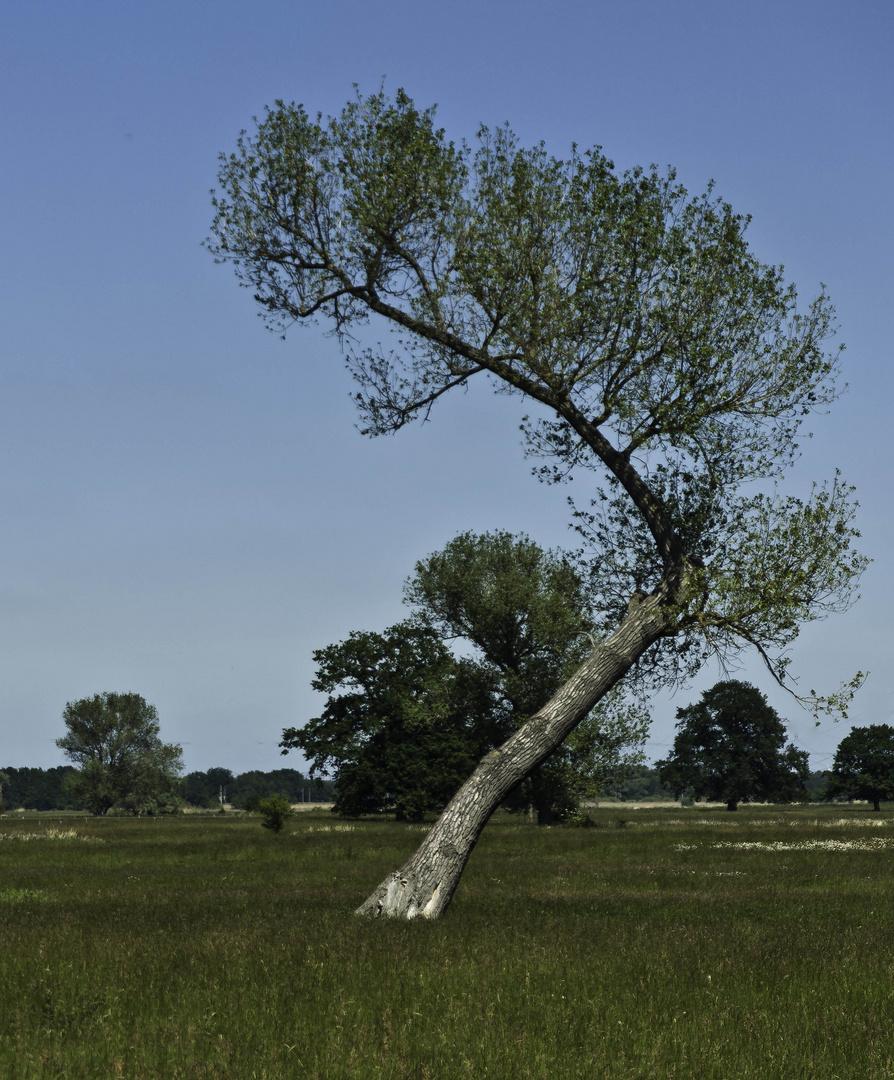 Baum bei Wittenberge