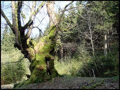 Baum des Jahres 2009