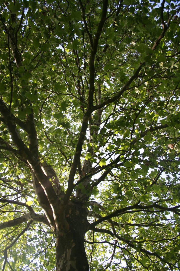Baum .