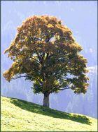 Baum im Appenzellerland