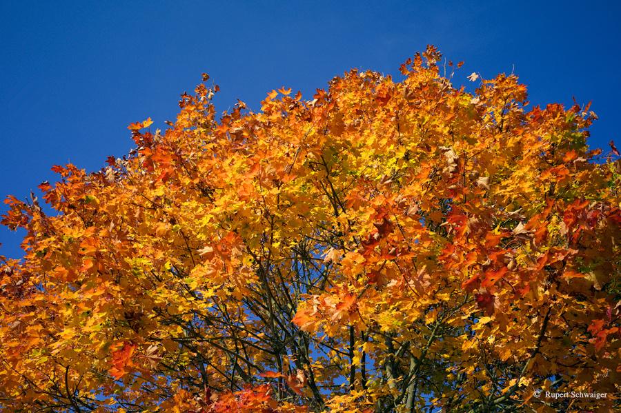 Baum im Herbst 2