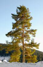 Baum im späten Licht