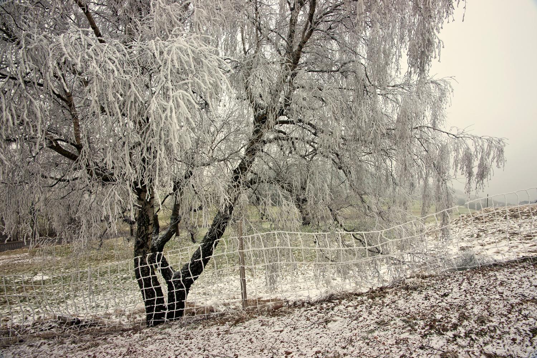 Baum im Winterkleid
