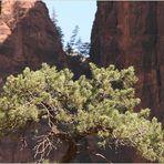 Baum im ZION NP