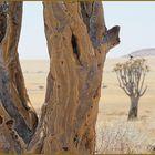 BAUM in der Savanne ... in Namibia