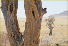 BAUM in der Savanne ... in Namibia