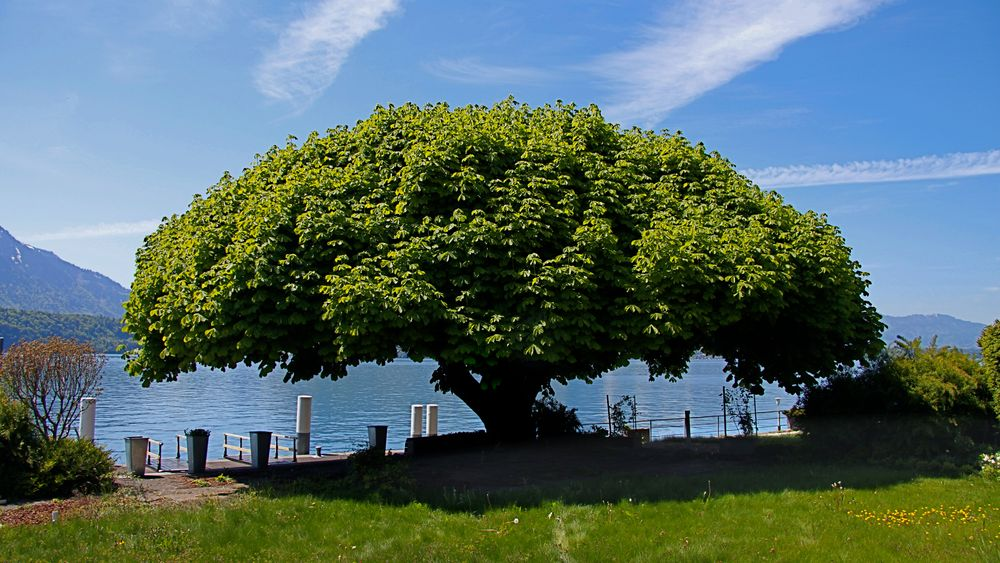 Baum in Gunten