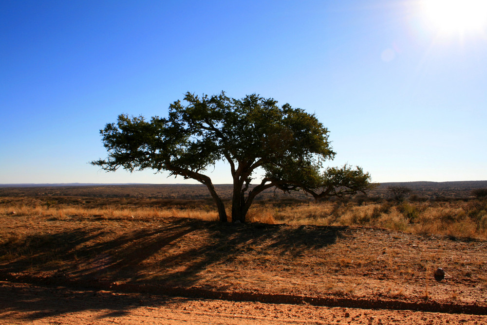 Baum in Namibia