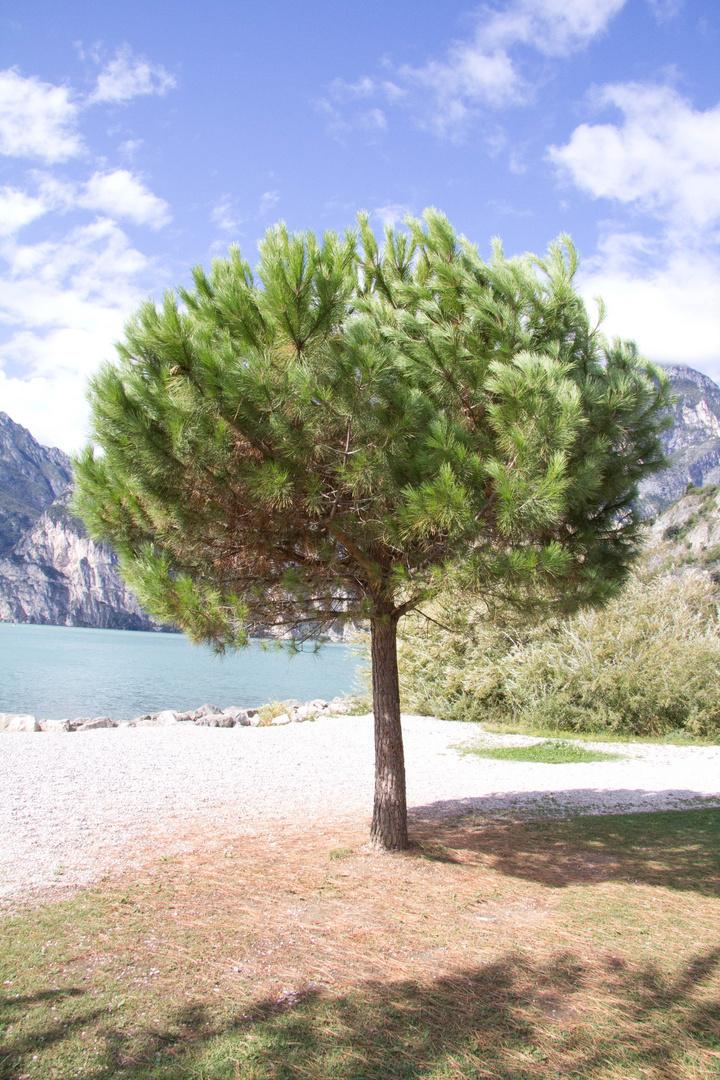 Baum in Torbole