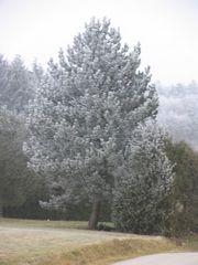 Baum in weiss