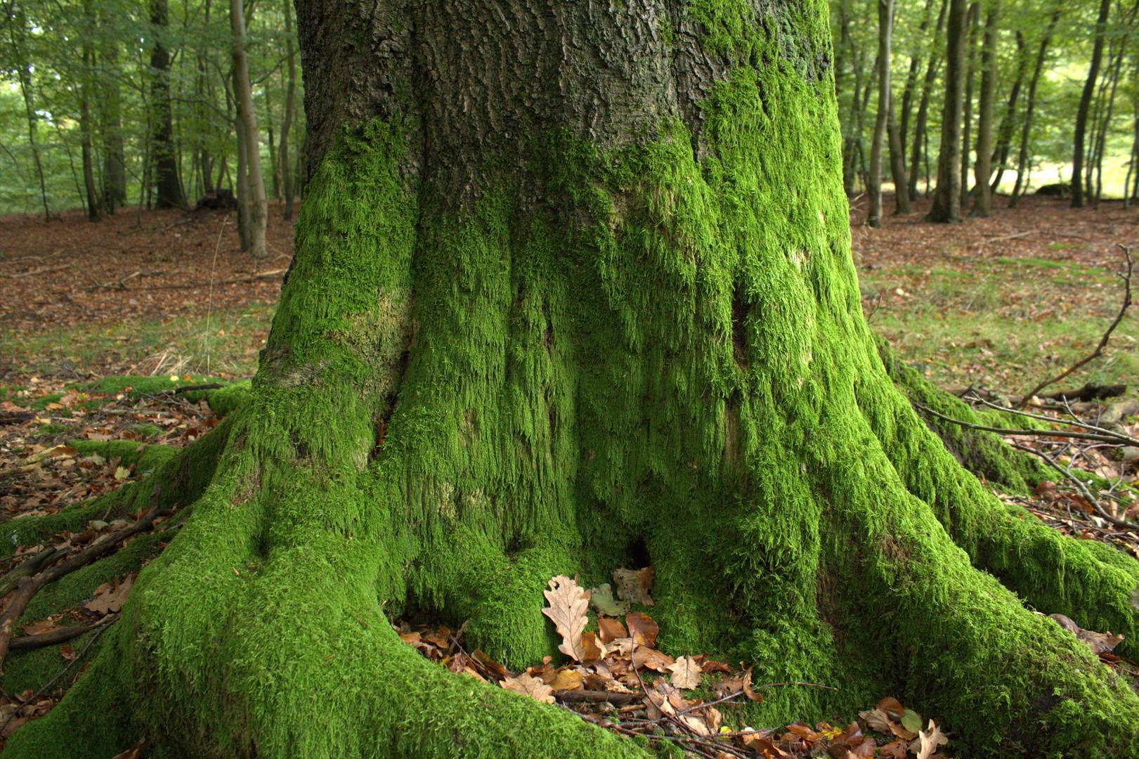 Baum mit moos foto bild pflanzen pilze flechten for Moos bilder pflanzen