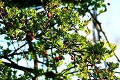 Baum mit roten Früchten
