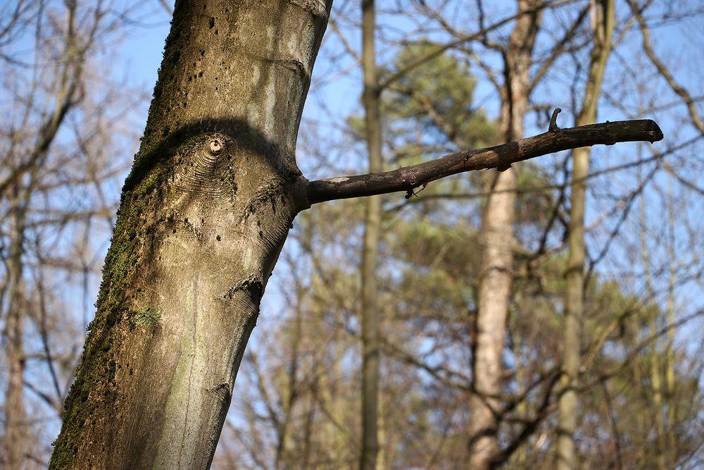 """Baum """"Nase""""..."""