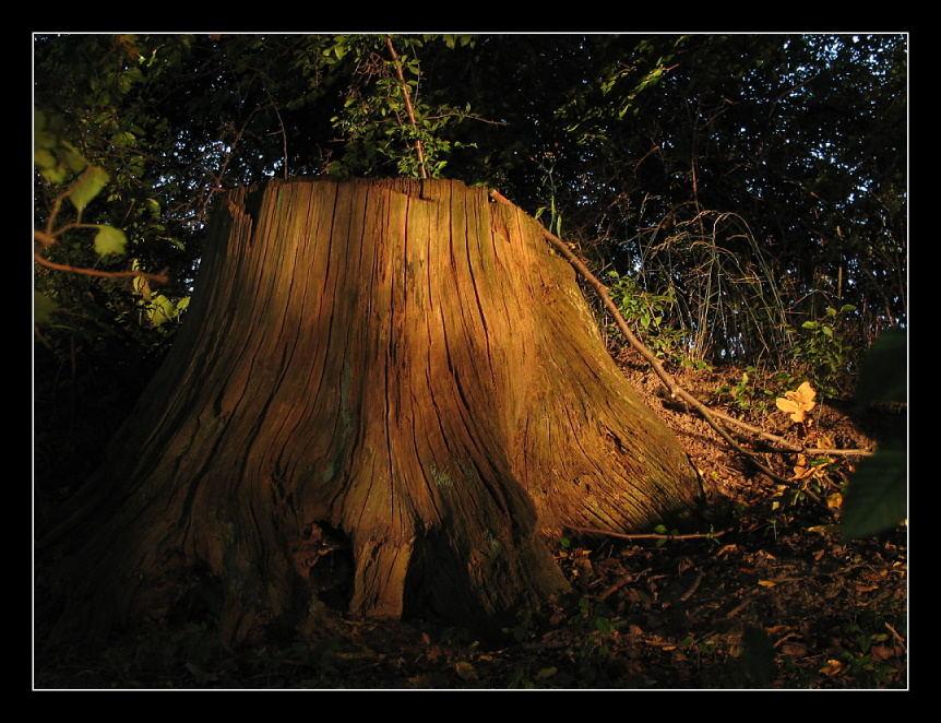 (Baum-) stumpfsinnig