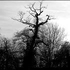 Baum sw