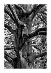 Baum - Torso