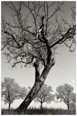 Baum und Baumgruppe (s/w)