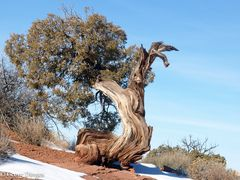 Baum-Vogel USA Canyonland NP 20150106