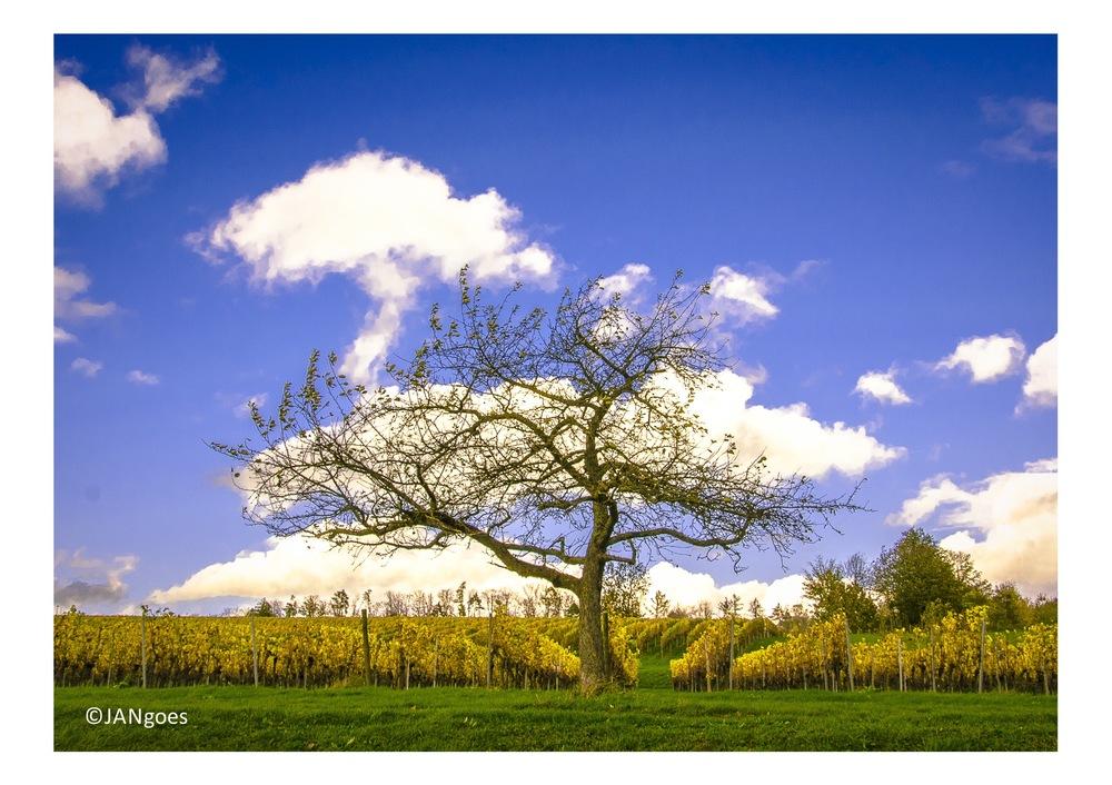 Baum vor Weinberg