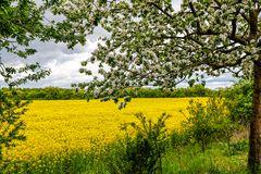 Baumblüte am Rapsfeld