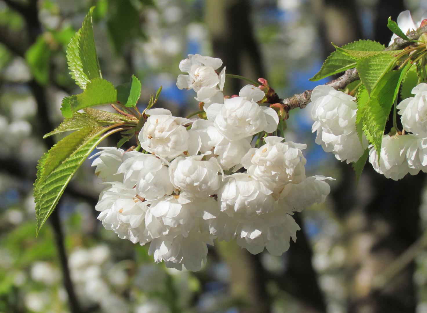Baumblüte im Burghauser Stadtpark