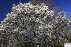 Baumblüte im Frühling