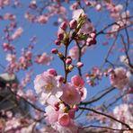 Baumblüte im Wohnpark II