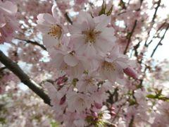 Baumblütenmeer