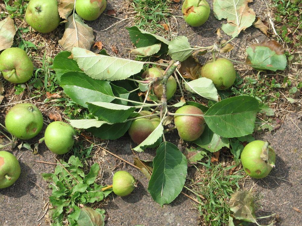 Baumbruch wirft Äpfel zu früh ab ?
