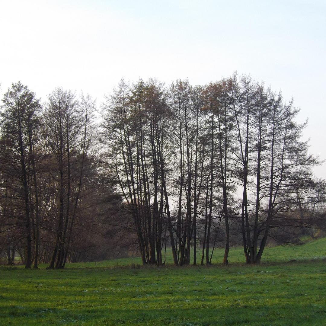 Baumgruppe zwischen Güttigheim und St. Ilgen (Markgräflerland)