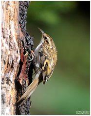 - Baumläufer - ( Certhia brachydactyla )