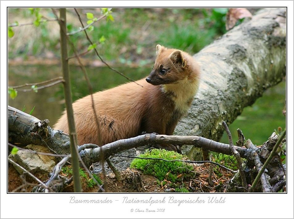 Baummarder aus dem Nationalpark Bayerischer Wald