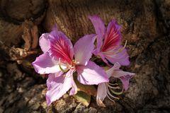 Baumorchidee(Bauhinia)