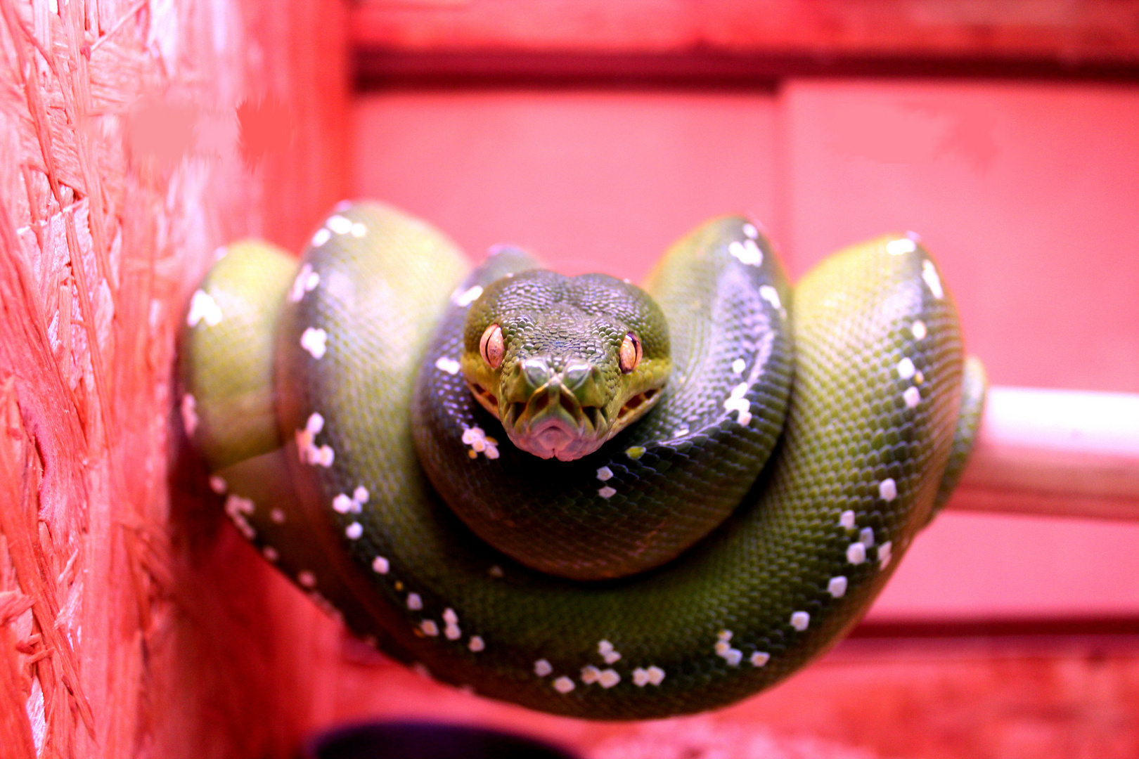 Baumpython, Morelia viridis