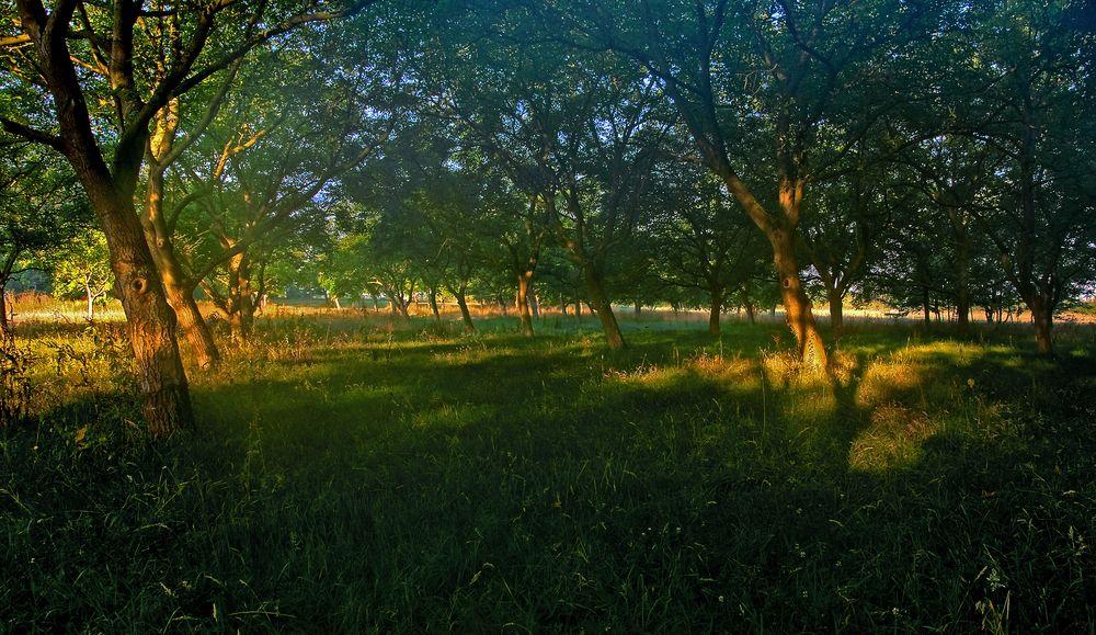 Baumreihen in der Morgensonne No2